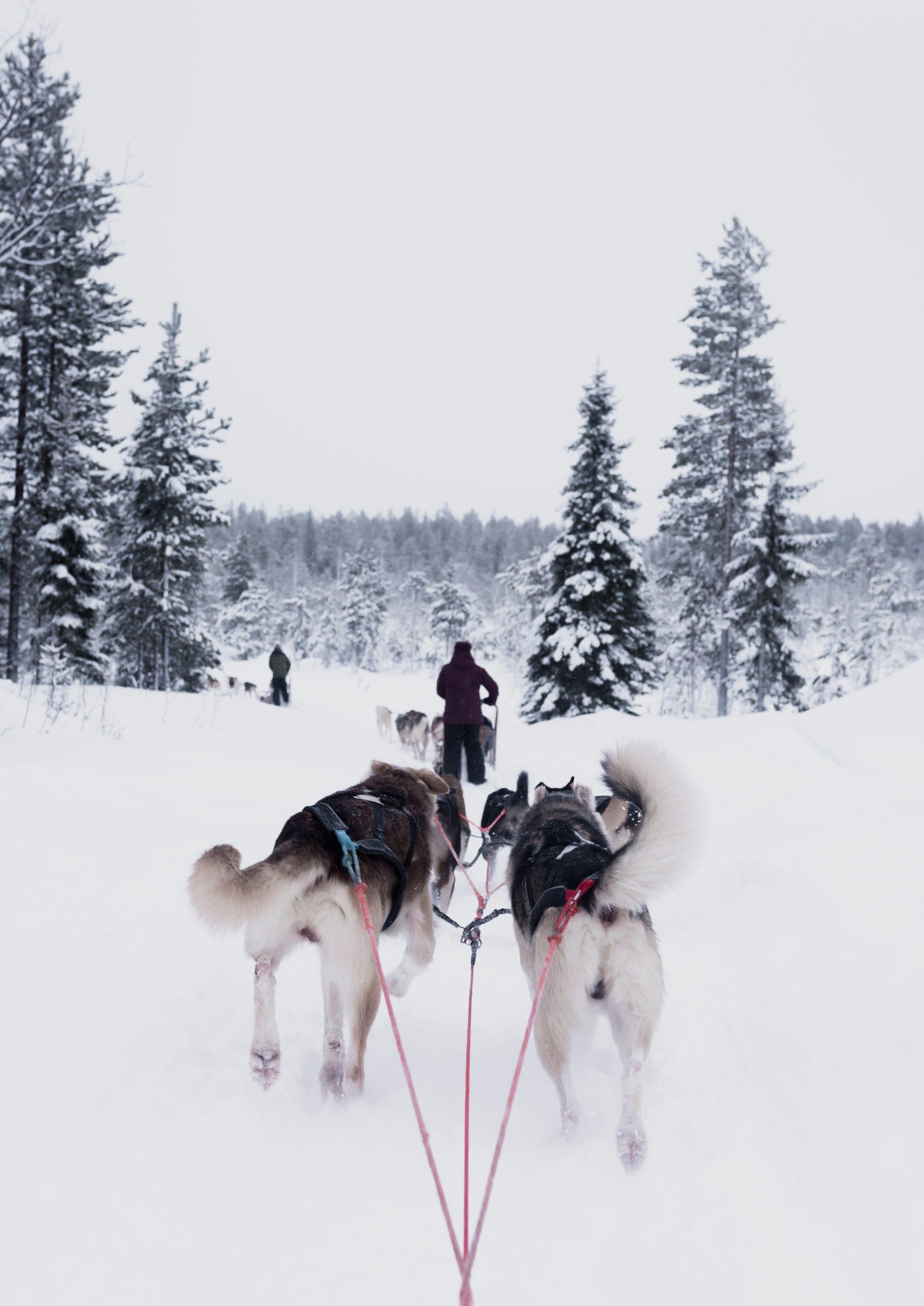sleddog - cani husky che trainano slitta