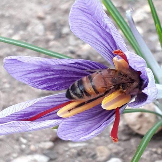 fiore di zafferano con ape
