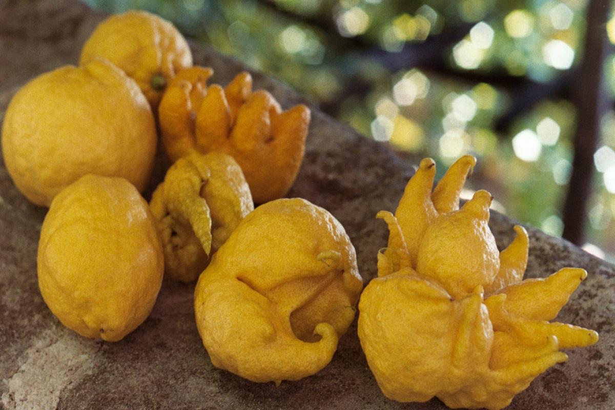 Limoni della Limonaia La Malora di Gargnano sul Lago di Garda