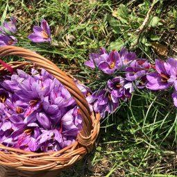 cestino con fiori di zafferano