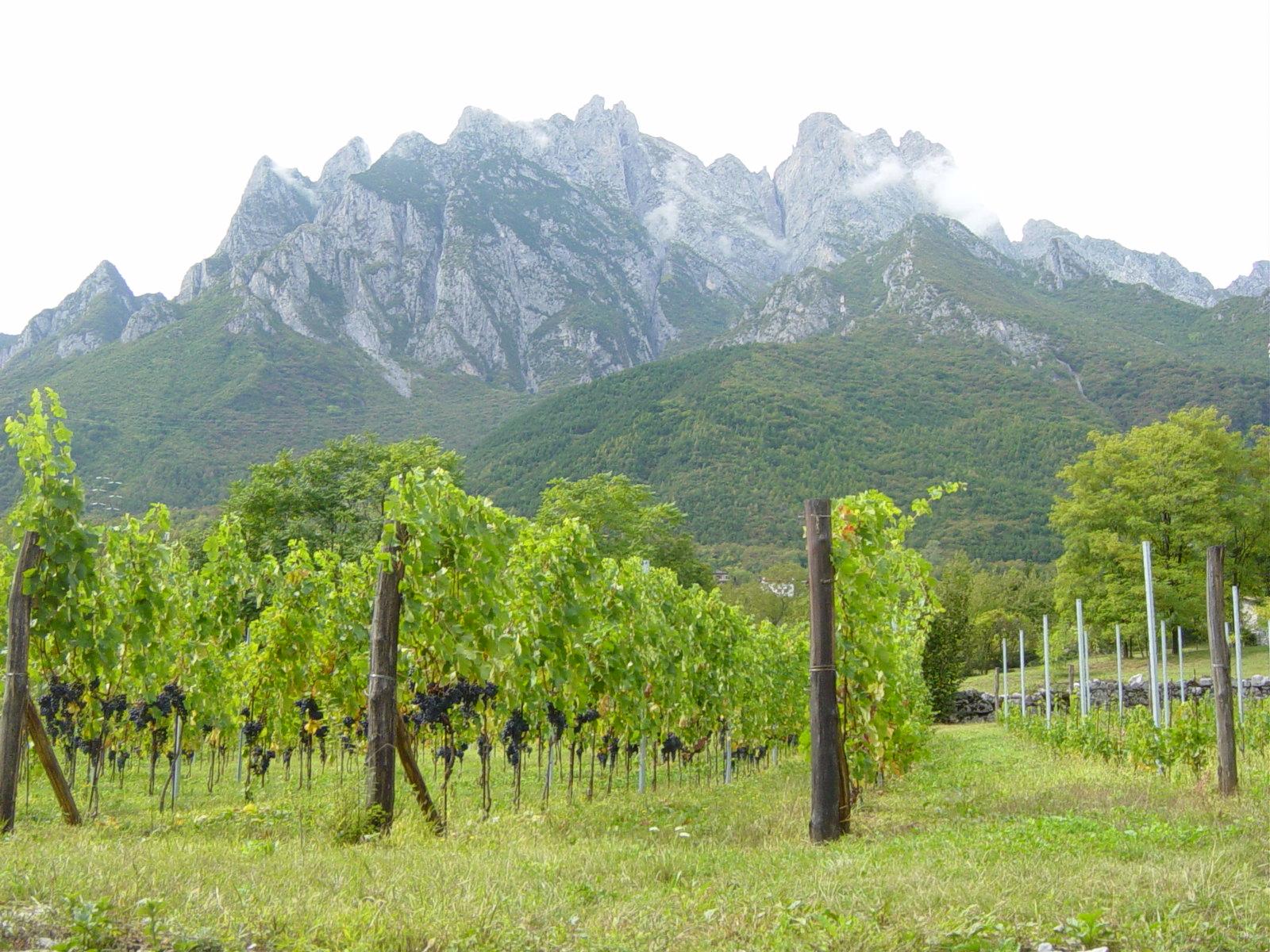 Consorzio Vini Valle Camonica - Vigneto a Cerveno. Sullo sfondo la Concarena