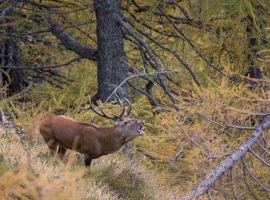 escursione guidata bramito cervi valgrande - cervo che bramisce
